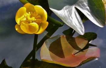Nuphar japonica (Japanese pond lily) gal pot...Min.order (3) | Lily Like-Potted