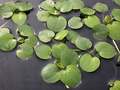 Limnobium spongia (American frogbit) do NOT sell in California!  Min.order (6)